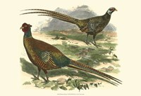 Bohemian Pheasant Fine Art Print