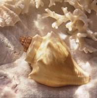 Coral Shell IV Fine Art Print