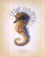 Shorthead Seahorse Framed Print