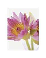 Lotus Blossoms Fine Art Print
