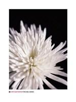 "24"" x 32"" Chrysanthemum Pictures"