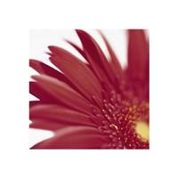 "Gerbera, Bright Red on White - 16"" x 16"" - $9.99"