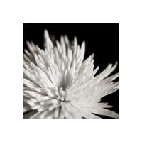"16"" x 16"" Chrysanthemum Pictures"