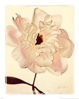 White Peony Fine Art Print