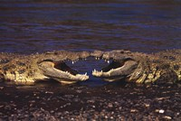 "Kissing Crocs - 36"" x 24"", FulcrumGallery.com brand"