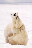 """Playful Polar Bears - 24"""" x 36"""""""