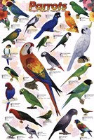 "24"" x 36"" Parrot Pictures"