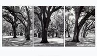 "39"" x 22"" Oak Trees"
