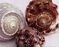 Spiral Shells Fine Art Print