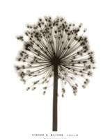 "Allium by Steven N. Meyers - 28"" x 35"" - $22.99"