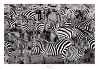 Zebras Abstraction Fine Art Print