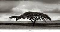 Acacia Trees Fine Art Print