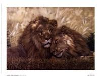 "8"" x 6"" Lion Pictures"