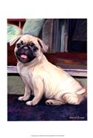 Baby Pug Framed Print