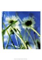 Daisies II Framed Print