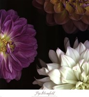 Purple Dahlia II Fine Art Print