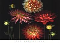 Dahlia Garden Fine Art Print