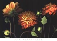 Orange Dahlia Garden Fine Art Print