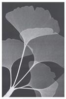 Ginkos II Fine Art Print