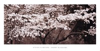 "Cherry Blossoms by Steven N. Meyers - 38"" x 20"""