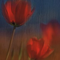 "24"" x 24"" Red Tulip Pictures"