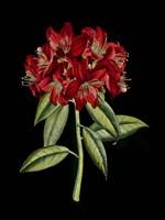 Crimson Flowers on Black (A) II - various sizes