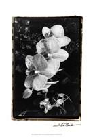 """Striking Orchids II by Laura Denardo - 13"""" x 19"""""""