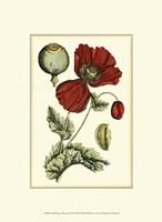 "Small Poppy Blooms II (P) by Elizabeth Blackwell - 10"" x 13"""