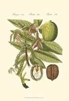 Small Bertruch Walnut (P) Fine Art Print