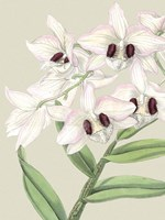 Small Orchid Blooms II (P) by Vision Studio - various sizes