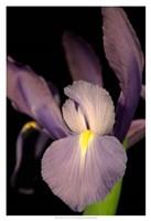 """Small Sweet Iris II (U) by Renee Stramel - 13"""" x 19"""""""
