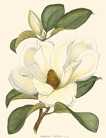 Magnolia by Marcelo Silva - various sizes