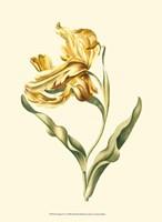 Tulipa IV Fine Art Print
