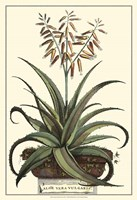 Antique Munting Aloe III Fine Art Print