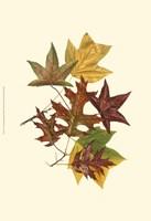 Sm Tulip Tree,Sw Gum&Scarlet Oak Fine Art Print