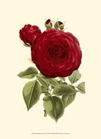 Magnificent Rose I Fine Art Print