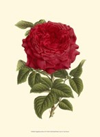 "Magnificent Rose II by Francois Van Houtte - 10"" x 13"""
