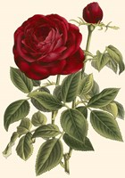 Magnificent Rose IV Fine Art Print