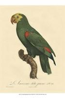 Small Barraband Parrot PL 86 (IP) Fine Art Print