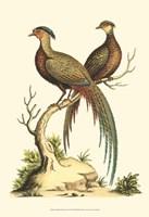 Small Regal Pheasants II (P) Fine Art Print