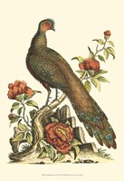 Small Regal Pheasants III (P) Fine Art Print