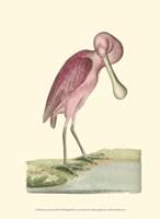 Roseate Spoonbill Fine Art Print