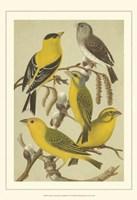 Cst Cassel's Pet. Songbirds III Fine Art Print