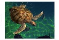 "Aegean Sea Turtles III by Vision Studio - 19"" x 13"""