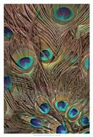Peacock Feathers III Fine Art Print