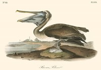 Brown Pelican (horizontal) Fine Art Print