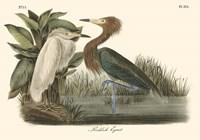 Reddish Egret Fine Art Print