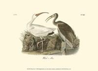 "White Ibis by John James Audubon - 13"" x 10"""