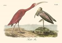 Scarlet Ibis Fine Art Print