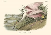 Roseate Spoonbill (light pink) Fine Art Print